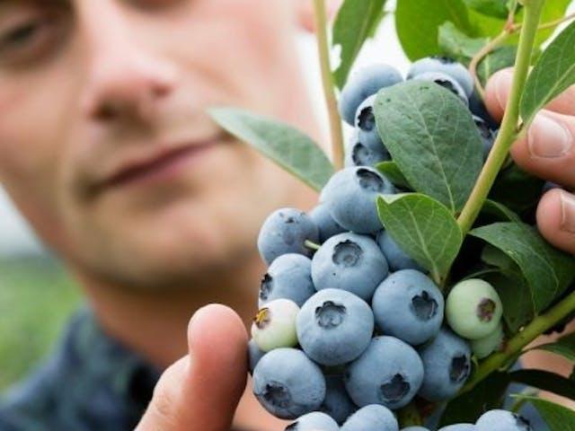 Blueberry grown