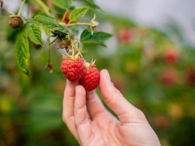 Les fraises et framboises Made in France n'ont pas dit leur dernier mot !