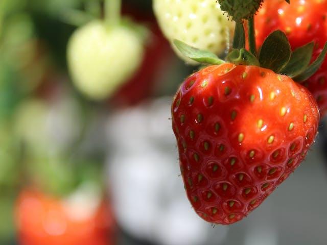 Cette semaine, les premières fraises françaises se là ramènent