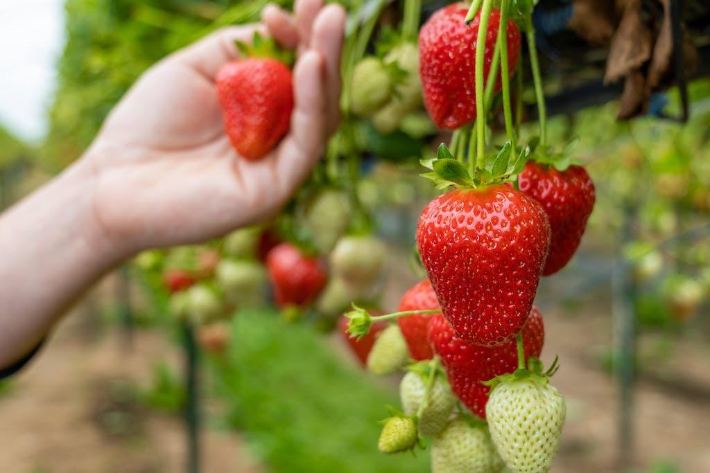 TSBC Strawberry Picker13 min